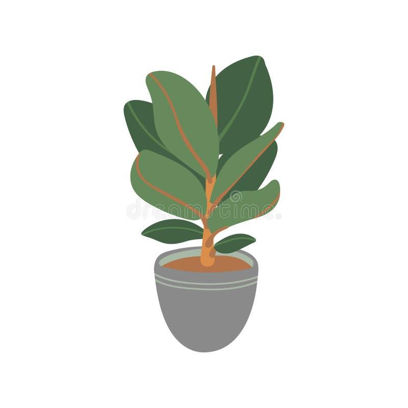 Plant gommif?re Plante en pot Houseplant d'isolement sur le fond blanc Illustration de vecteur dans l'appartement tir? par la mai illustration libre de droits