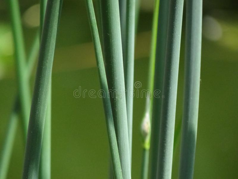 Plant, Grass, Plant Stem, Grass Family royalty free stock photography