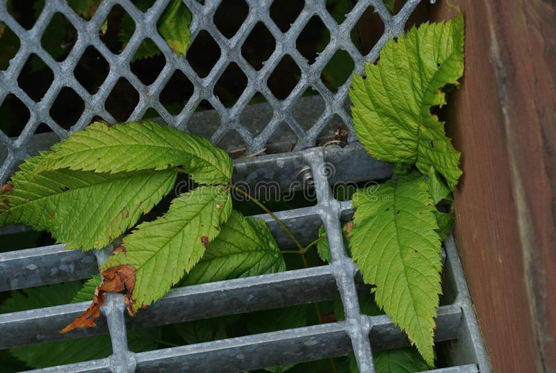 Plant in the Grate on a Stairway. Plant growing through the grate on an outdoor stairway in Juneau, Alaska stock photography