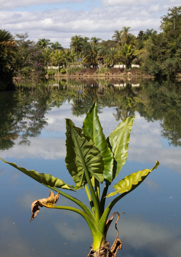 plant in green color with large leaves in front of a lake causing incredible reflection royalty free stock photos