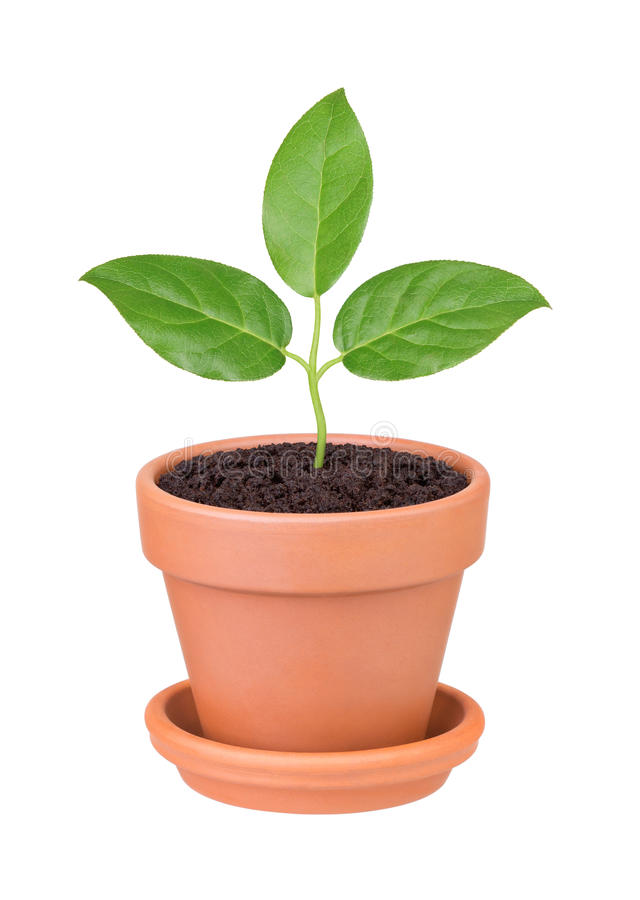 Plant With Green Leaves Growing In A Pot Royalty Free