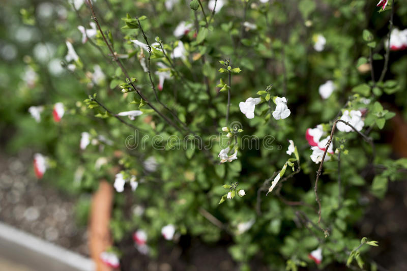 Plant with green leaves and small blossoms. Lovely plant with small green leaves and pink and white blossoms stock images