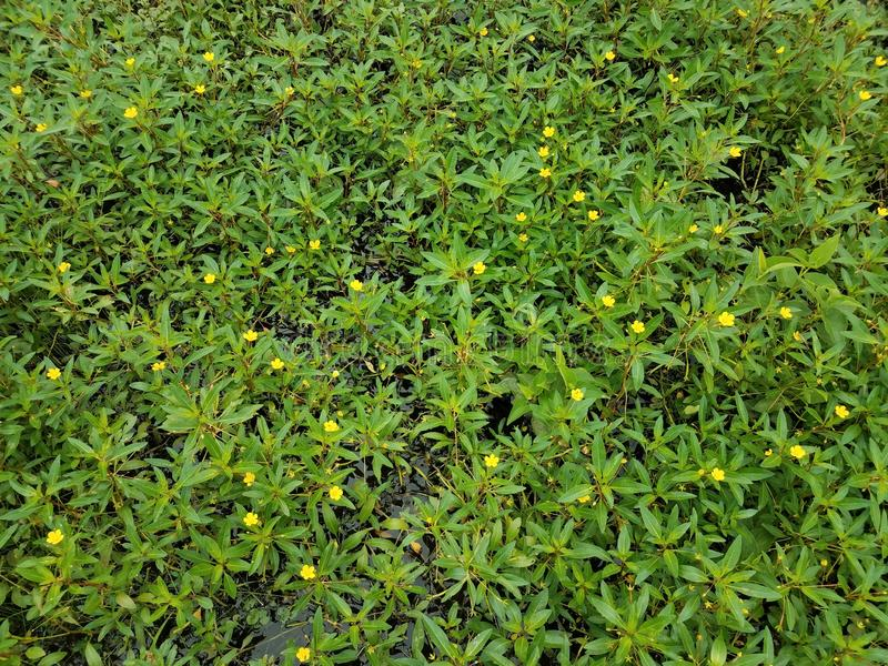 Plant with green leaves and yellow flowers in wetland area. Plant with green leaves and yellow flowers in water in wetland area royalty free stock image
