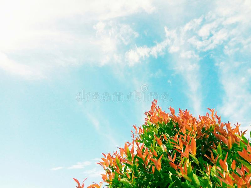 Plant with green and red leaves under the sun light with beautiful sky and clouds in the background. Plant green red leaves beautiful sky clouds background stock photo