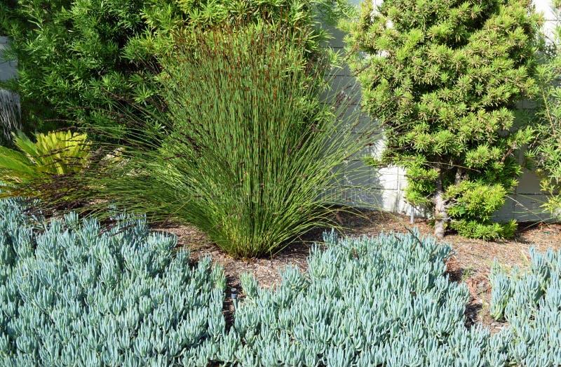 Plant, groundcover species Senecio mandraliscae or Blue Chalk Sticks. Image shows a succulent, plant, groundcover species Senecio mandraliscae or Blue Chalk stock photos