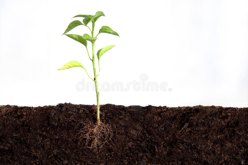 Plant growing. Plant above and beneth the soil royalty free stock images