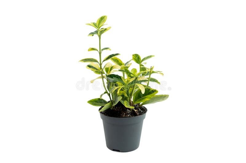 Plant growing in brown flowerpot isolated on white background. Home and garden concept. Small fresh and green plant growing in brown flowerpot isolated on white stock photos