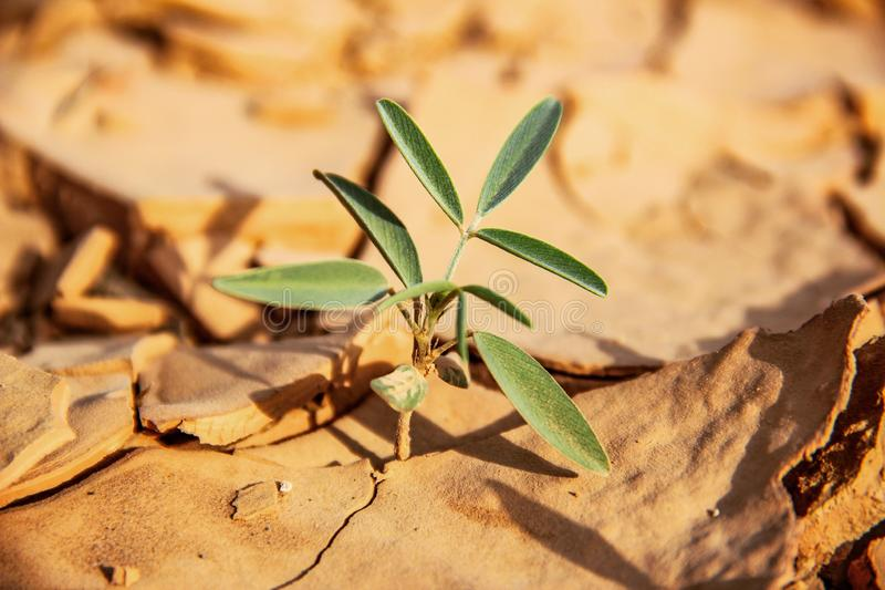 Plant Growing In Cracked Dry Sand At The Dried River Mouth In The Mountains. A strong green plant growing from the dry sand in the river mouth at the mountains royalty free stock photos