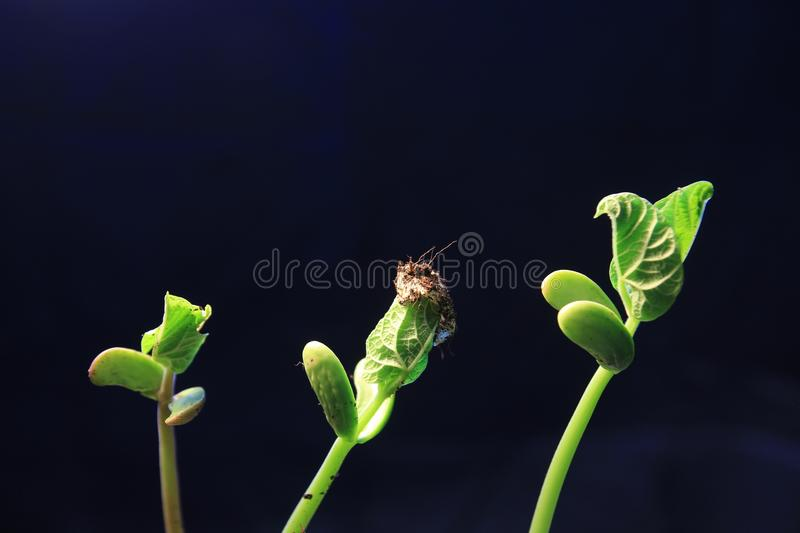 Green plant sprout growing germinating from seed springtime summer wonderful nature isolated on black. Plant growing isolated on white timelapse stock image