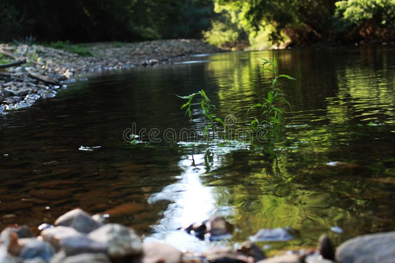 plant growing in the middle of a river stock photography