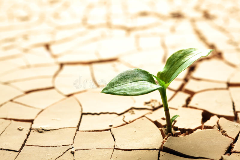 Plant growing in mud. Plant in dried cracked mud stock photo