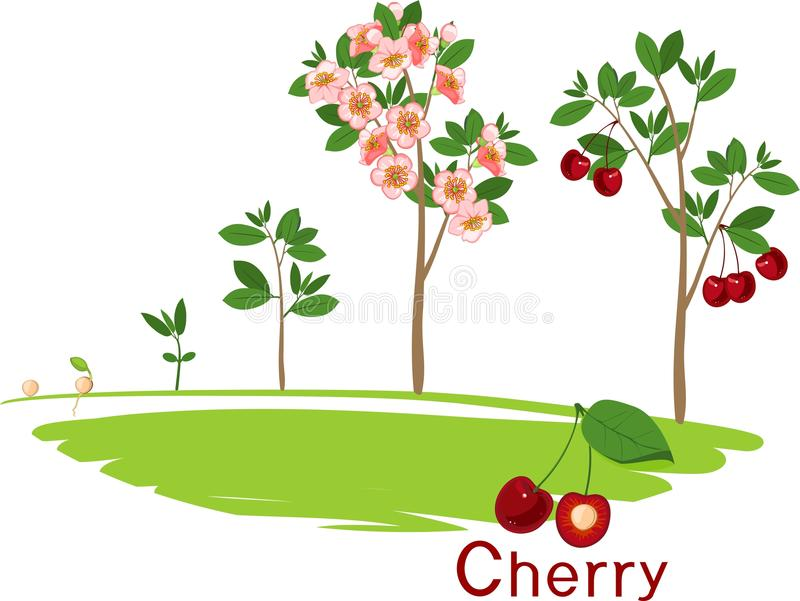 Plant growing from seed to cherry tree. royalty free illustration