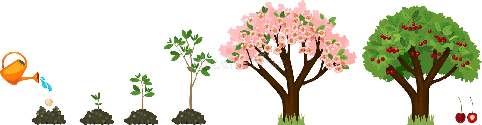 Plant growing from seed to cherry tree. vector illustration