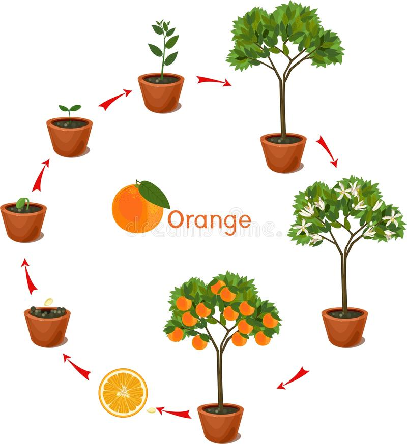 Plant growing from seed to orange tree. Life cycle plant royalty free illustration
