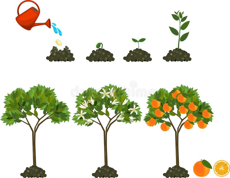 Plant growing from seed to orange tree. Life cycle plant stock illustration