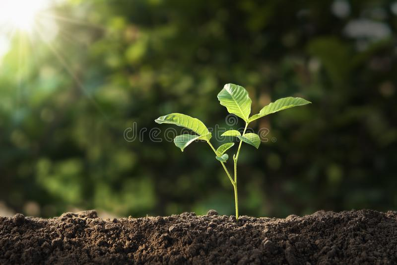 Plant growing on soil with sunshine. eco earth day concept. Growth seedling ecology young sprout background life green sunlight sustainability garden nature new royalty free stock images