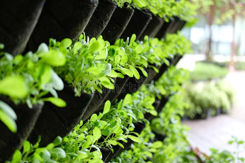 Plant growing vertically in vertical garden. vegetable planted on wall royalty free stock photos