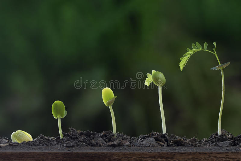 Plant growth from seed tree. royalty free stock photo