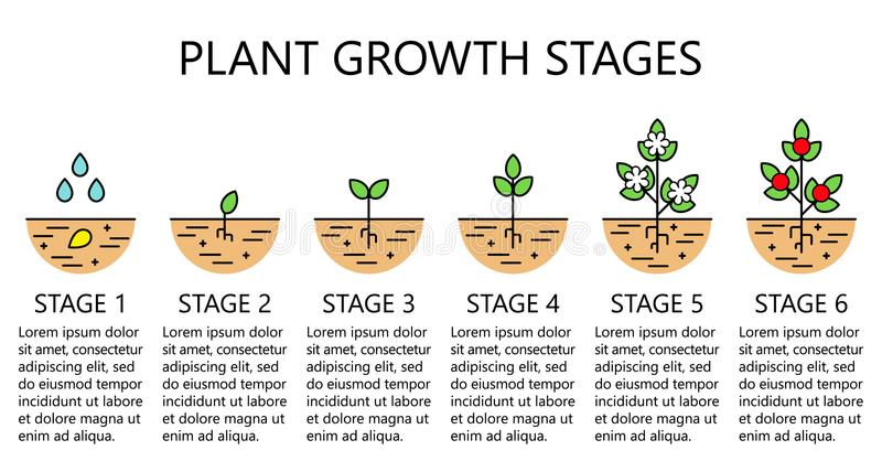 Onion Growth Stages From Seeding To Flowering And Fruit ...