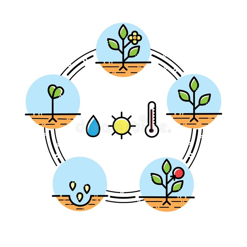 Plant growth stages infographics Planting fruits, vegetables process. Flat style. Plant growth stages infographics. Line art icons. Linear style illustration on stock illustration