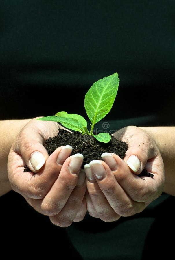 Plant in the hands of a woman royalty free stock photo