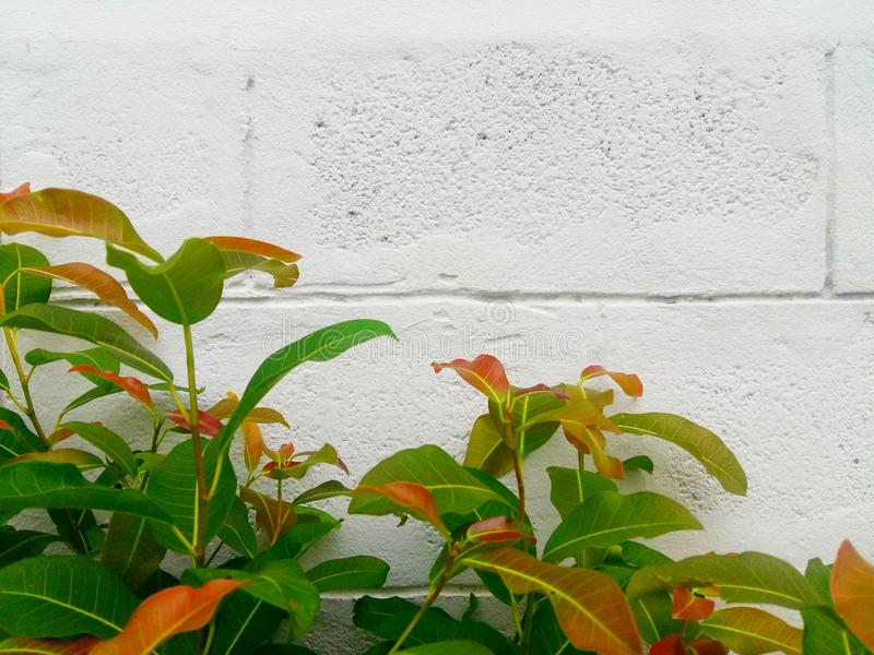The plant has an alternating green leaf. And the back is a white concrete wall made of bricks. Back nearing for natural background in the daytime stock photo