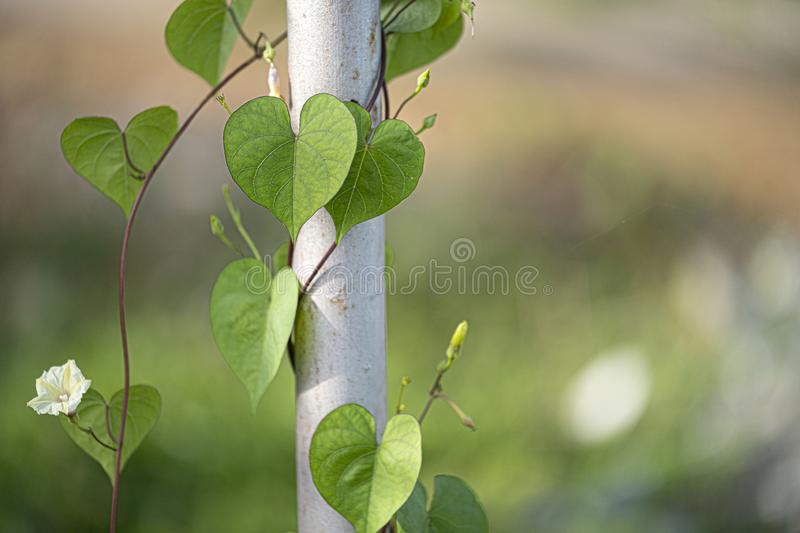 Plant with heart shaped leaves. Vine plant with heart shaped leaves and white flowers stock images