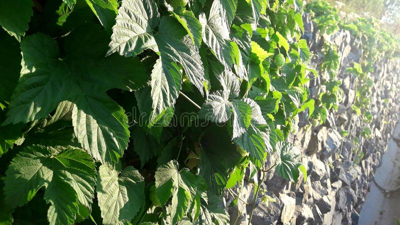 Plant hop royalty free stock image