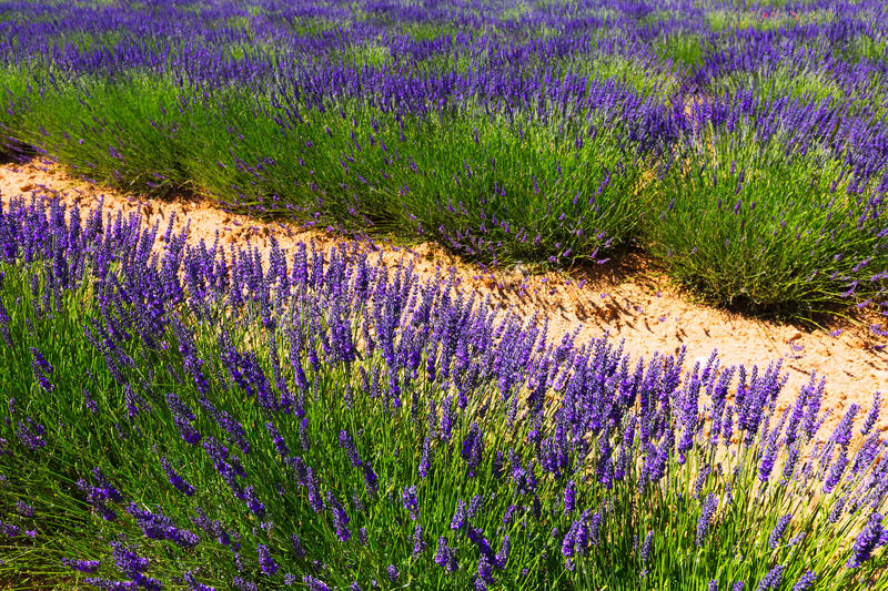 Plant of lavender stock image