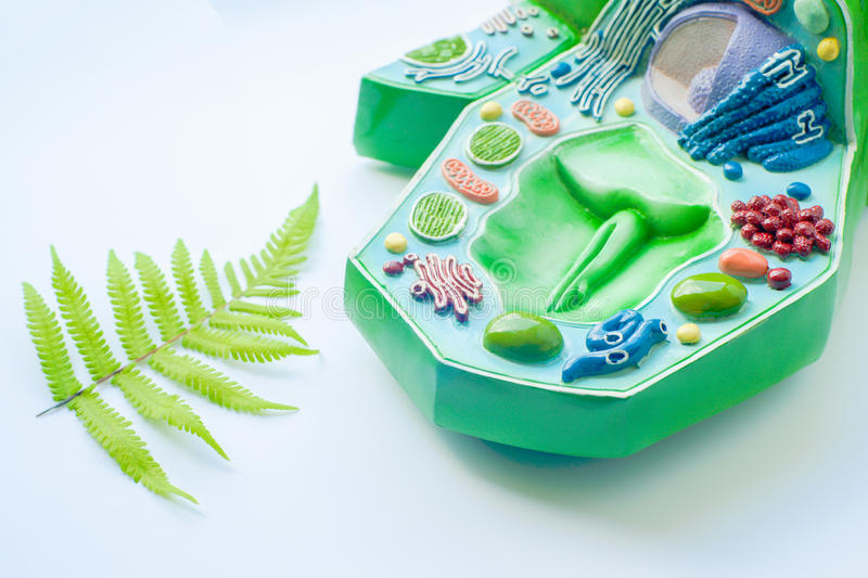 Plant leaf and model of plant cell royalty free stock images