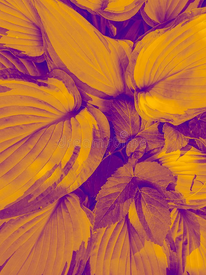 Plant leaf texture, large bright yellow hosta foliage nature royalty free stock images