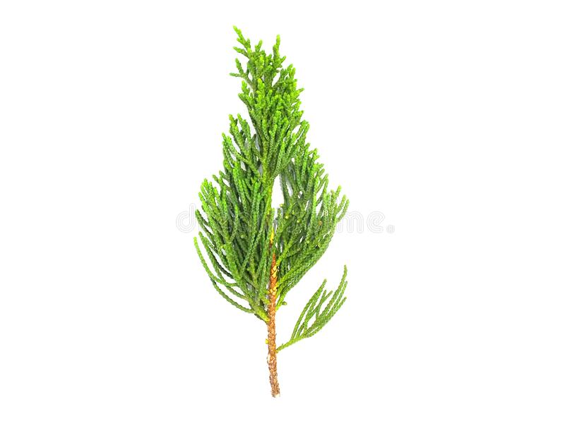 Plant leaves, fir leaves, isolated from white background. Leaves, leaves, leaves, betel leaves, separated from the white background stock photos