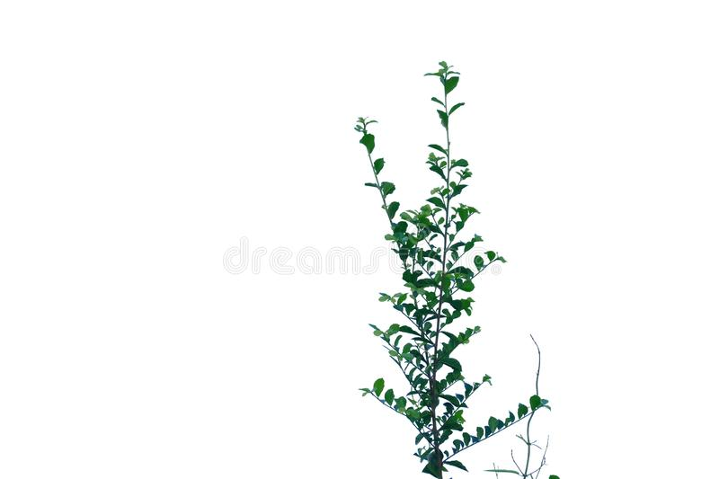 Tropical plant leaves with branches on white isolated background for green foliage backdrop royalty free stock photos