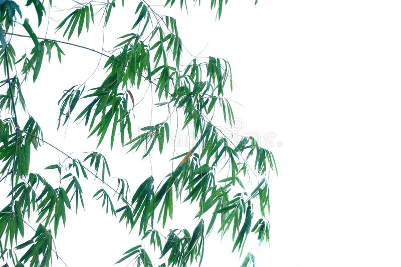 Tropical bamboo leaves with branches and sunlight on white isolated background for green foliage backdrop. Plant leaves growing garden white isolated background royalty free stock images