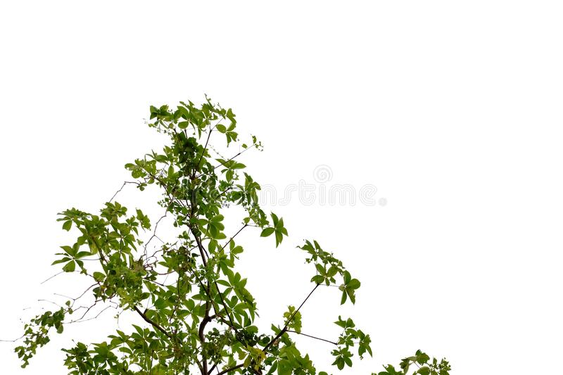 Tropical plant leaves with branches and sunlight on white isolated background for green foliage backdrop. Plant leaves growing garden white isolated background royalty free stock photo