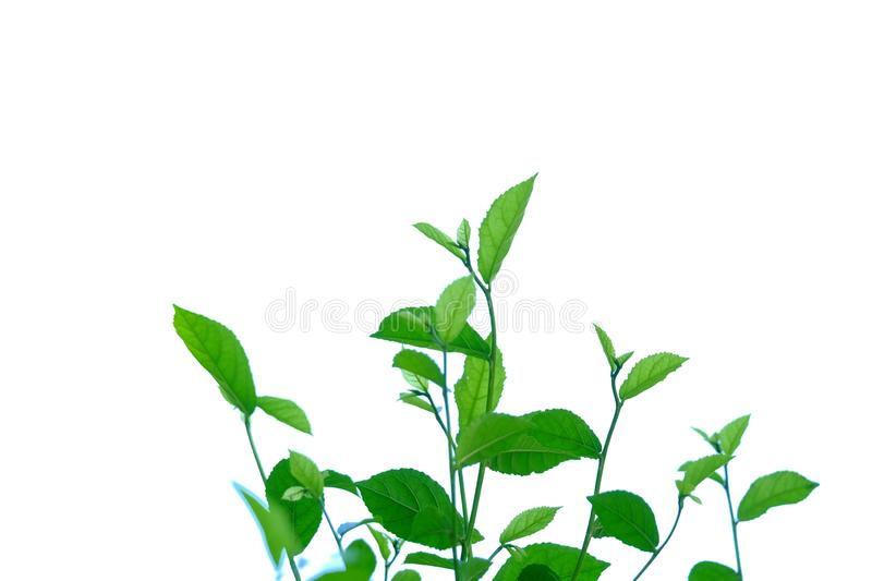 Young tropical plant leaves with branches and sunlight on white isolated background for green foliage backdrop. Plant leaves growing garden white isolated royalty free stock photography