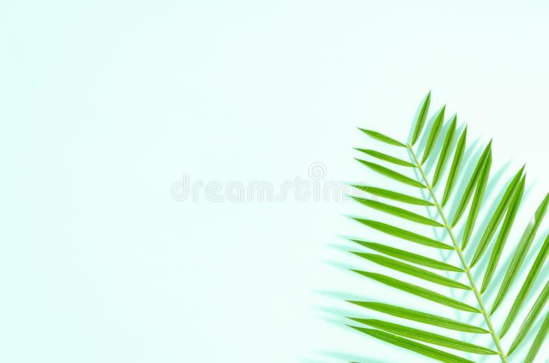 Plant lekmanna- grönt blad av palmträdet på mintkaramellbakgrund med mjuka skuggor Kopieringsutrymme för ditt text eller bane arkivfoto