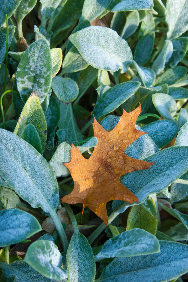 Plant life 41. Dew covers a fallen oak leaf laying upon a bed of frosted Lamb's Ears. Fall / autumn background stock images
