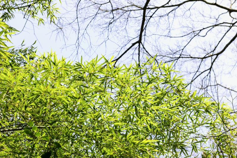Lush bamboo leaves. The plant is lignification and is Arbor shaped. Pole height 6-18m, diameter 5-7cm, growth is still green, or old gray green, pole ring and stock image
