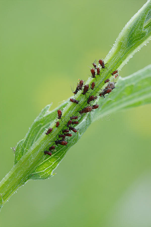 Download Plant-louse stock image. Image of parasite, louse, aphid - 25315379