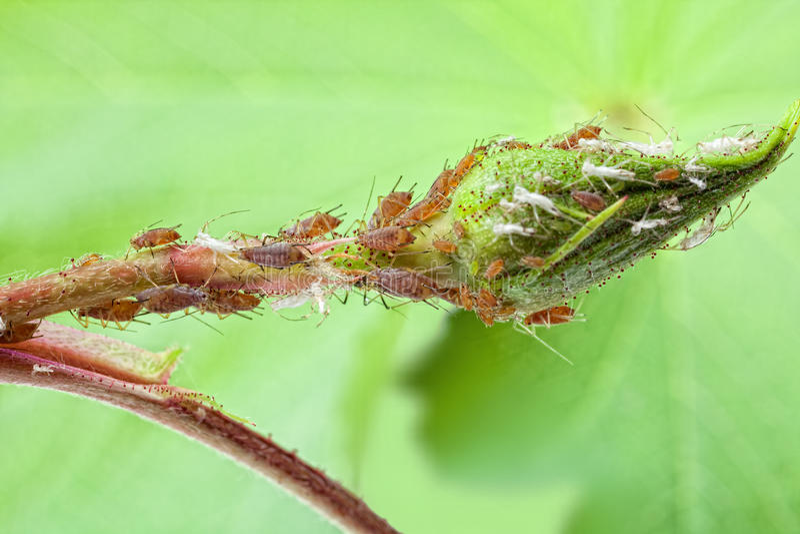 Plant louse colony stock photos