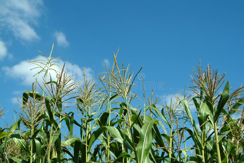 Plant of maize royalty free stock images