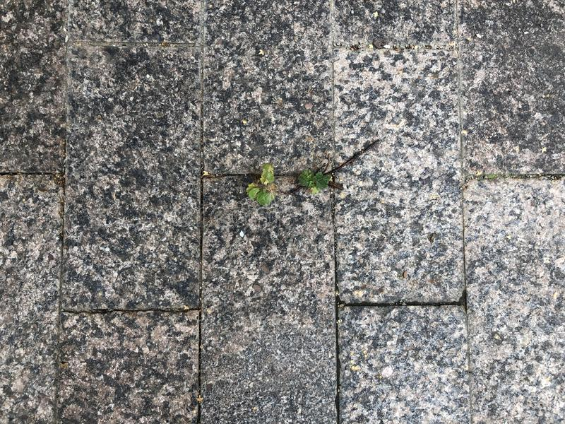 The plant makes its way through the pavement. Thirst for life royalty free stock photography