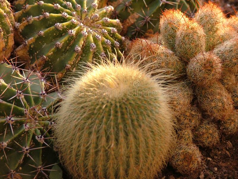 Mammillaria cactaceae. The plant of mammillaria featuring cactaceae. The botanical family of mammillaria is cactaceae royalty free stock photo