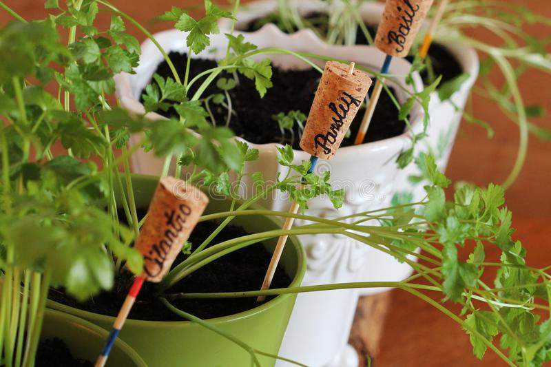 Plant markers for springtime garden. Herbs growing in pots on windowsill.  royalty free stock images