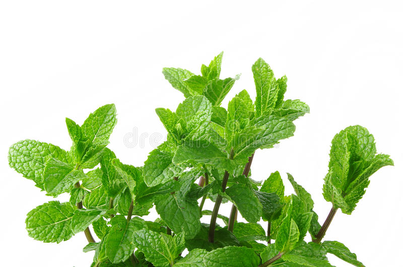 Plant of mint royalty free stock photography
