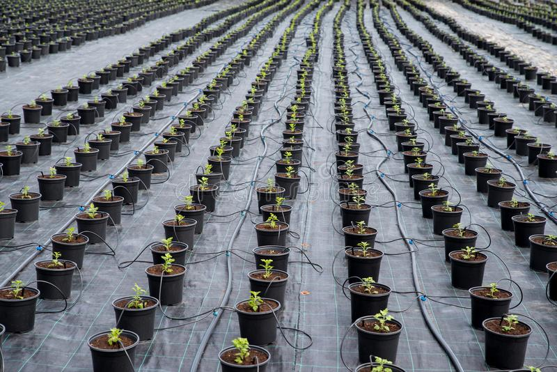 Plant nursery. Automatic plant watering system for greenhouse mist irrigation sys. Weed Control. Chrysanthemum flower seedling planting plots in row. Drip stock photography