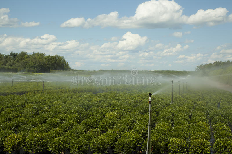 Plant nursury shrubs being irrigated by automatic system stock photography
