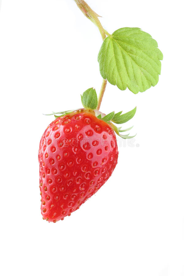 Plant with one organic strawberry isolated royalty free stock images
