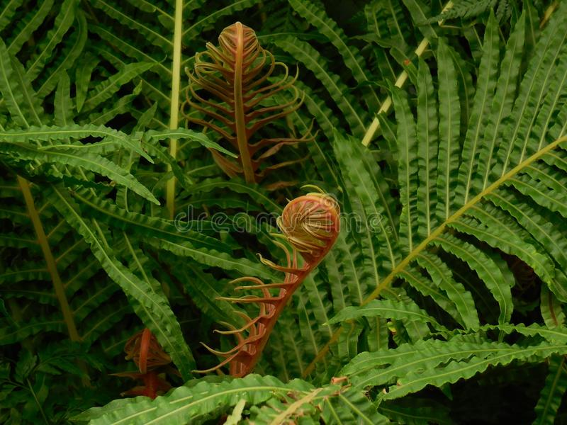 Plant, Ostrich Fern, Vegetation, Ferns And Horsetails royalty free stock photography